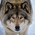 Michael Cummings - Timber Wolf Picture