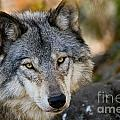 Michael Cummings - Timber Wolf Pictures