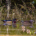 Rick Grisolano Photography LLC - 2013 Oct 21 Wood Duck...