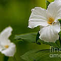 Michael Cummings - White Trillium -...
