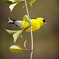 Christina Rollo - American Goldfinch