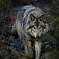 Wolves Only - Timber Wolf