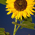 Ron Pate - Sunflower