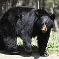 Dennis Hammer - Black Bear