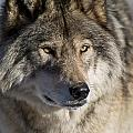 Wolves Only - Timber Wolf Pictures