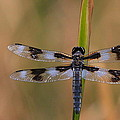Paul Marto - 8-Spotted Skimmer
