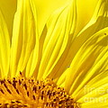 Robin Lee Mccarthy Photography - #923 D718 Sunflower on...