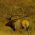 Jeff  Swan - A big Bull Elk