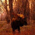 Jeff  Swan - A bull moose in the woods