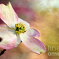 Darren Fisher - A Dogwood Bloom
