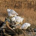 Michael Russell - A Group of Snowy Owls