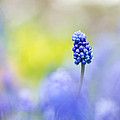 Sarah-fiona  Helme - A Little Muscari Magic