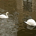 Imran Ahmed - A pair of swans Bruges...
