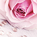 HJBH Photography - A Romantic Pink rose...