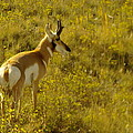 Jeff  Swan - A Pronghorn In Wyoming