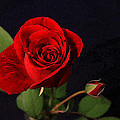 CarolLMiller Photography - A Red Rose