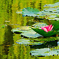 MaryJane Armstrong - A Single Pink Water Lily...