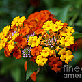 Sue Melvin - A Splash of Lantana
