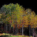 David Patterson - A Stand of Birch Trees...