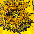 Regina Geoghan - A sunflower and a Bee