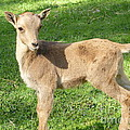 Lingfai Leung - Adorable Barbary Lamb