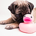 Edward Fielding - Adorable Pug Puppy with...