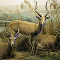 Agrofilms Photography - African Impalas