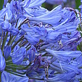 James Elmore - Agapanthus
