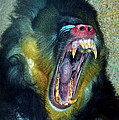 Thomas Woolworth - Agressive Mandrill
