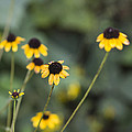 Kathy Clark - Alabama Black Eyed Susan...