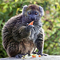 Terri  Waters - Alaotran Gentle Lemur