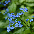Minartesia - All Blue Myosotis