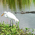 Al Powell Photography USA - Alligator Egret and...