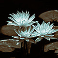 Linda Phelps - Altered Water Lilies