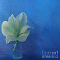 Maria Fleetwood - Amaryllis in Blue