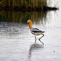 Al Powell Photography USA - American Avocet