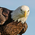 Dawn Currie - American Bald Eagle III