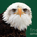 Inspired Nature Photography By Shelley Myke - American Bald Eagle on...