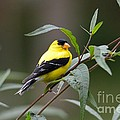 Charles Trinkle - American Goldfinch