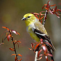 Kathy Baccari - American Goldfinch In A...