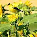 Judy Genovese - American Goldfinch on...