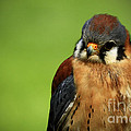 Inspired Nature Photography By Shelley Myke - American Kestrel Focus