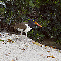 Sally Weigand - American Oystercatcher