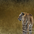Terri  Waters - Amur Tiger