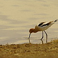 Jeff  Swan - An Avocet Has A Drink