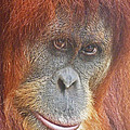 Margaret Saheed - An Orang-utan Observing...
