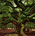 Kathleen Struckle - Angel Oak Tree
