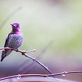 Dee Browning - Anna Hummingbird perched...