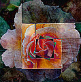 AGeekonaBike Photography - Any Other Rose Triptych...