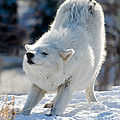 Les Palenik - Arctic wolf stretching